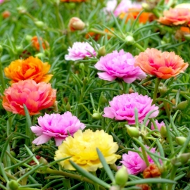 «Double Mix» - Organic Moss Roses Seeds