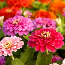 «California Giant» - Organic Zinnia Seeds