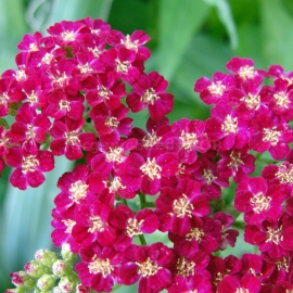 «Queen» - Organic Achillea Seeds