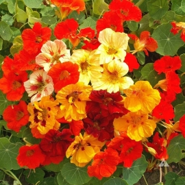 «Dwarf Terry Mix» - Organic Nasturtium Seeds