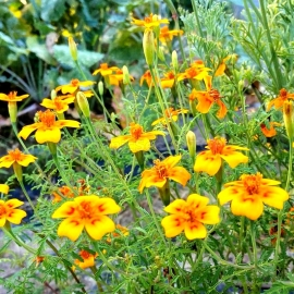 «Orange gnome» - Organic Tagetes Seeds