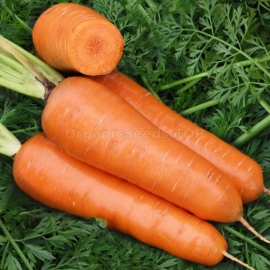 «Chantane Royal» - Organic Carrot Seeds