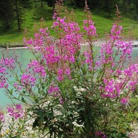 «Blooming Sally» - Organic Fireweed Seeds