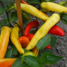 «Golden Yellow Waxe» - Organic Hot Pepper Seeds
