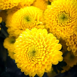 «Yellow» - Organic Aster Seeds