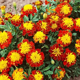 «Aurora Red» - Organic Tagetes Seeds