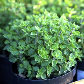 «Common» - Organic Greek Oregano Seeds