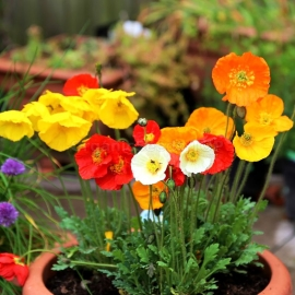 «Mix» - Organic Iceland Poppy Seeds