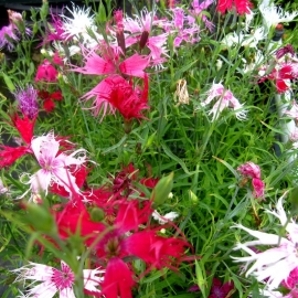 «Superb Mix» - Organic Dianthus Seeds