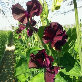 «Royal Maroon» - Organic Sweet Pea Seeds