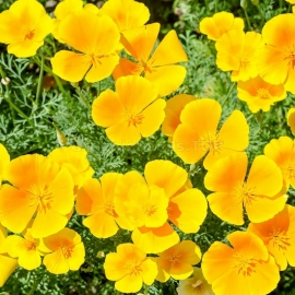 «Golden West» - Organic Eschscholzia Seeds