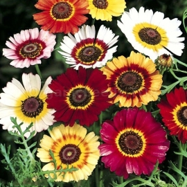 «Mix» - Organic Chrysanthemums Seeds
