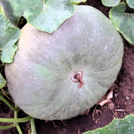 Фото «Ukrainian gray» - Organic Pumpkin Seeds