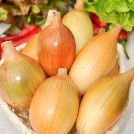 Фото «Penguin» - Organic Onion Seeds