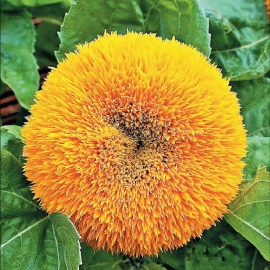 Фото «Teddy bear» - Organic Sunflower Seeds