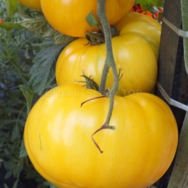 Фото «Bear paw yellow» - Organic Tomato Seeds