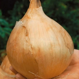 «Alice Craig» - Organic Onion Seeds