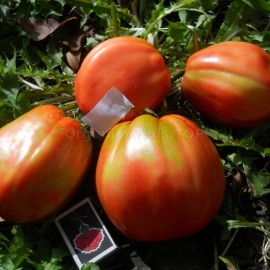 Фото «Big girl» - Organic Tomato Seeds