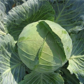 Фото «Dietmarsher Fryer» - Organic Cabbage Seeds