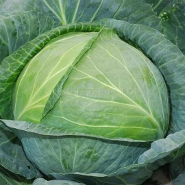 Фото «Olga» - Organic Cabbage Seeds