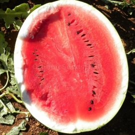 «Surprise» - Organic Watermelon Seeds