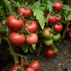 «Victory» - Organic Tomato Seeds