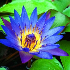 Фото Blue lotus Organic Seeds (Nelumbo caerulea)
