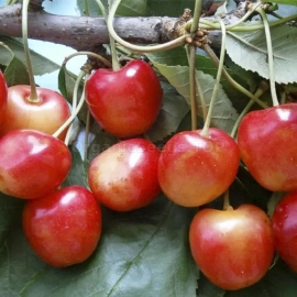 «General's» - Organic Cherry Seeds