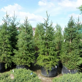 Фото Great fir Organic Seeds (Abies grandis)