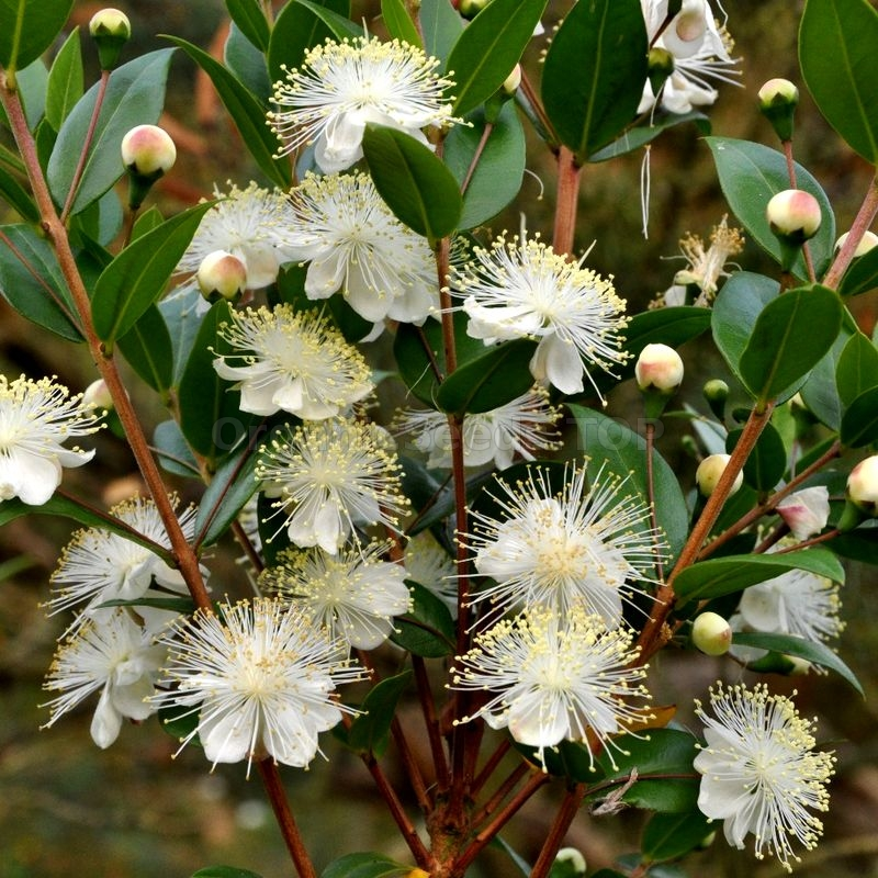 Myrtus communis COMMON MYRTLE Seeds!