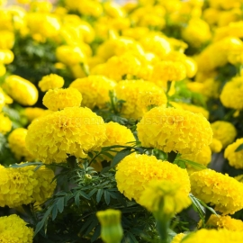 «Lemon Drop» - Organic Tagetes Seeds