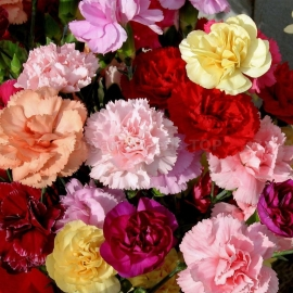 «Chabaud Mix» - Organic Carnation Seeds