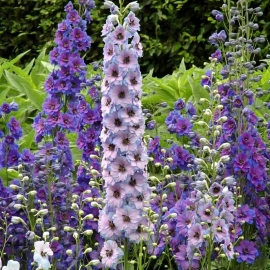 «Pink Blushes» - Organic Delphinium Seeds