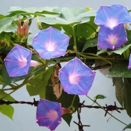 «Light-Blue» - Organic Ipomoea Seeds