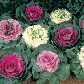 Organic Ornamental Cabbage Seeds (Brassica Oleracea)