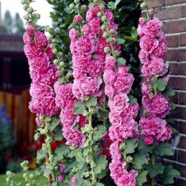 «Pinkish» - Organic Hollyhock Seeds