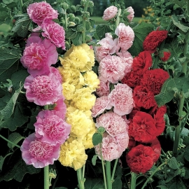 «Crystal Mix» - Organic Hollyhock Seeds