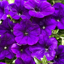 «Blue Bedder» - Organic Petunia Seeds