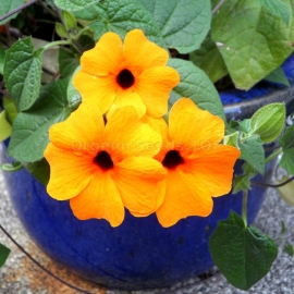«Yellow Cat» - Organic Thunbergia Seeds