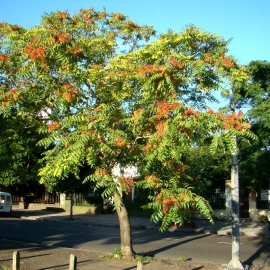 Organic Tree of Heaven Seeds (Ailanthus Altissima)