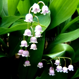 Convallaria Majalis / Lily of the Valley Seeds