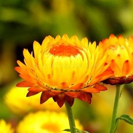 «Yellow» - Organic Helichrysum Seeds