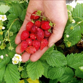 «Regina» - Organic Alpine Strawberry Seeds