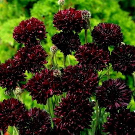 «Ball Black» - Organic Cornflower Seeds