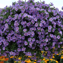 «Adam Blue» - Organic Bacopa Snowtopia Seeds