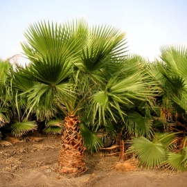 «Fan» - Organic Washingtonia Seeds