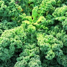 «Bright Green» - Organic Kale Seeds