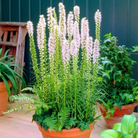 «White Brilliant» - Organic Liatris Seeds