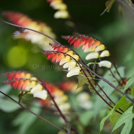 «Spanish Flag» - Organic Mina Lobata Seeds
