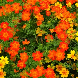 «Mixed Gem» - Organic Tagetes Seeds